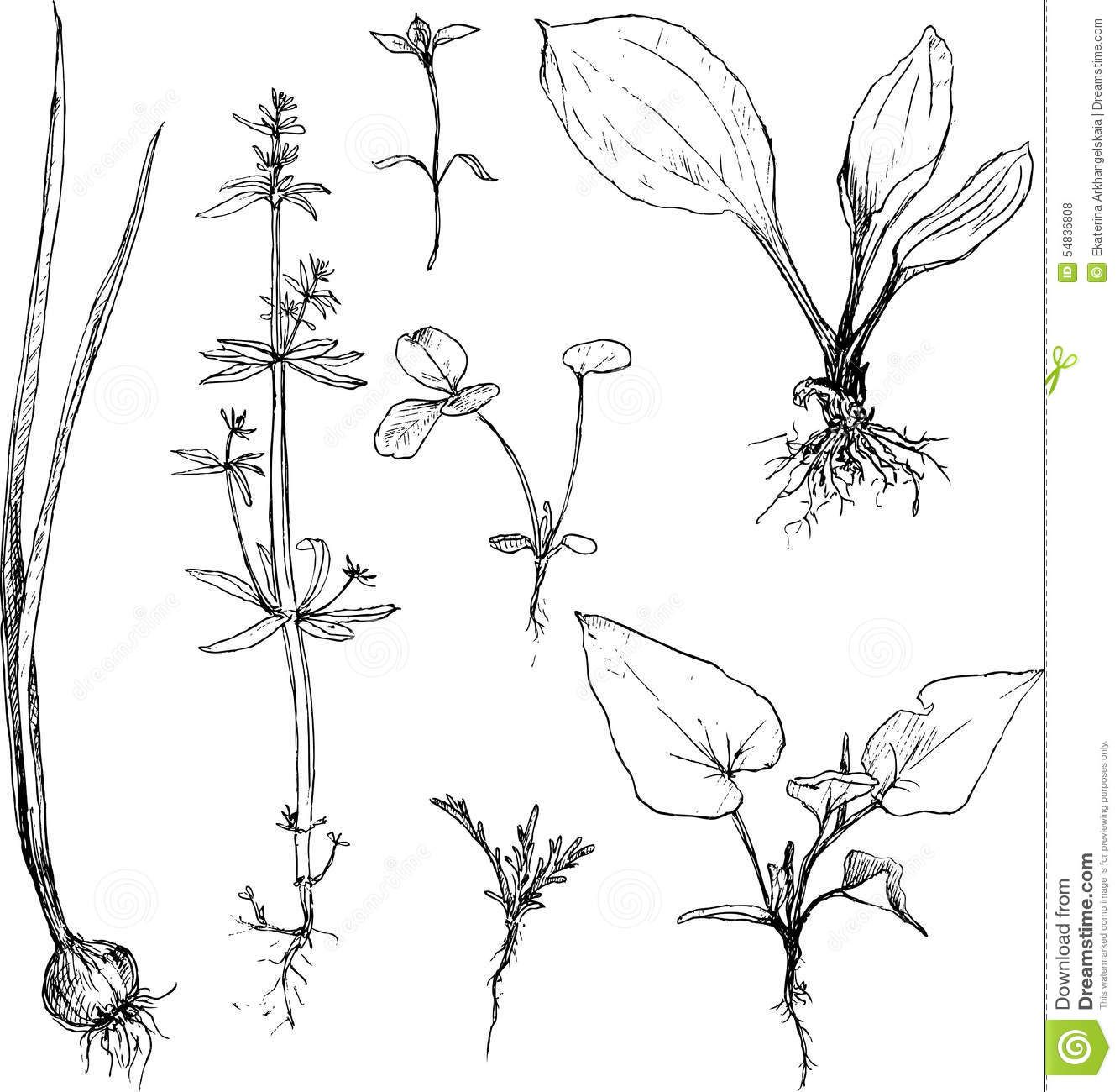 Set of pencil drawing herbs and leaves download from over 37 million high quality stock