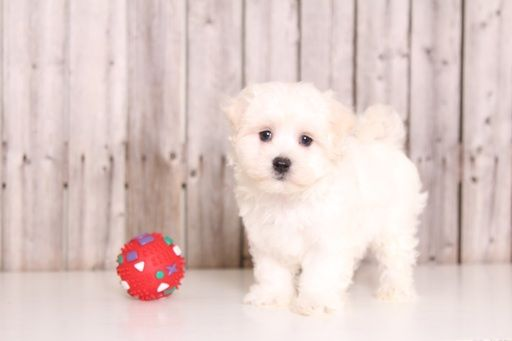 Maltese Puppy For Sale In Mount Vernon Oh Adn 37032 On