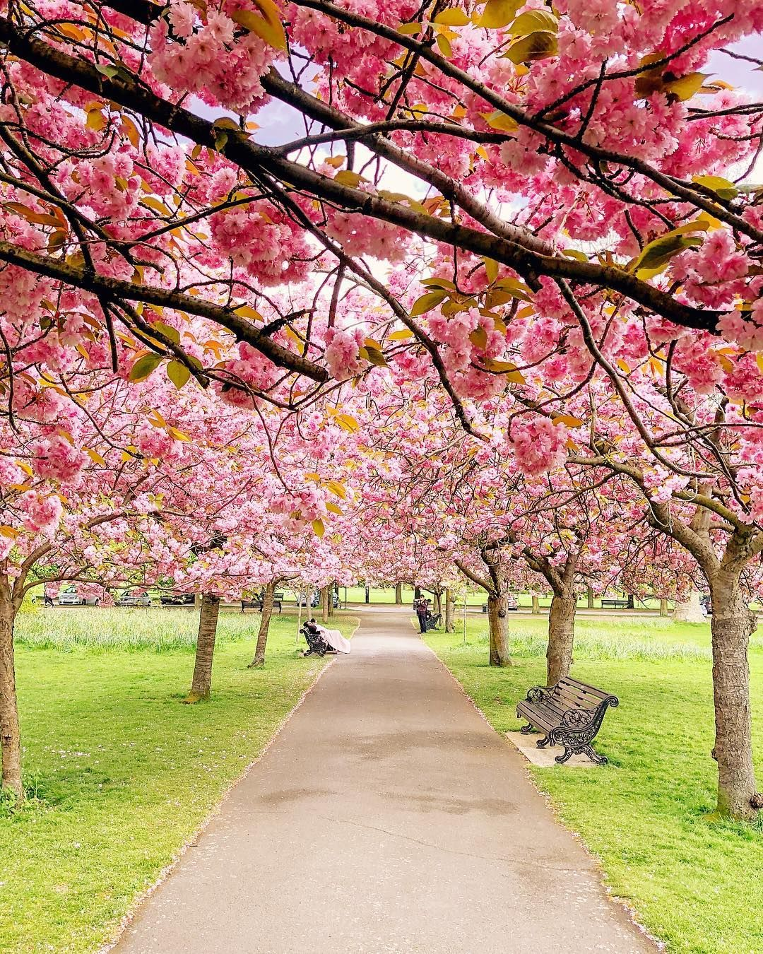 Surrounded In Pink So Much Love For This Cherry Blossom Oasis Currently In Greenwich Park A Huge Thank You To Greenwich Park Cherry Blossom Pretty Places