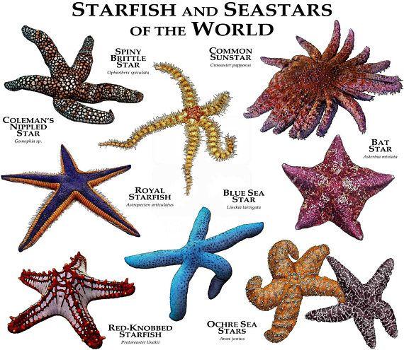 Starfish and Seastars of the World   Illustrations of Starfish ...