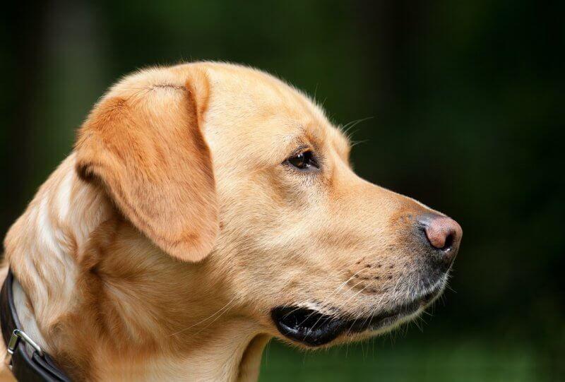 Labrador Erziehung die besten 7 Tipps Coole hunde