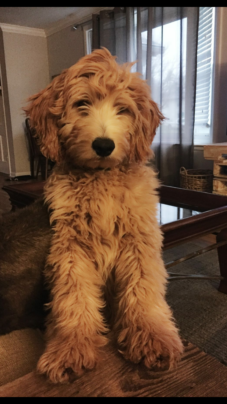 HarlowGoldendoodle Cute dogs Pinterest