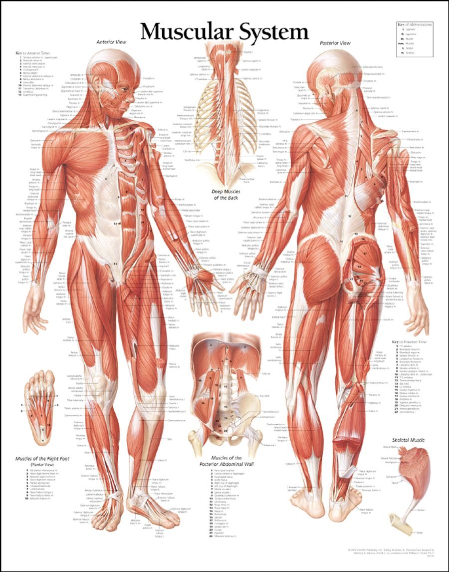 muscular system education poster 26x38 | human body anatomy and, Muscles