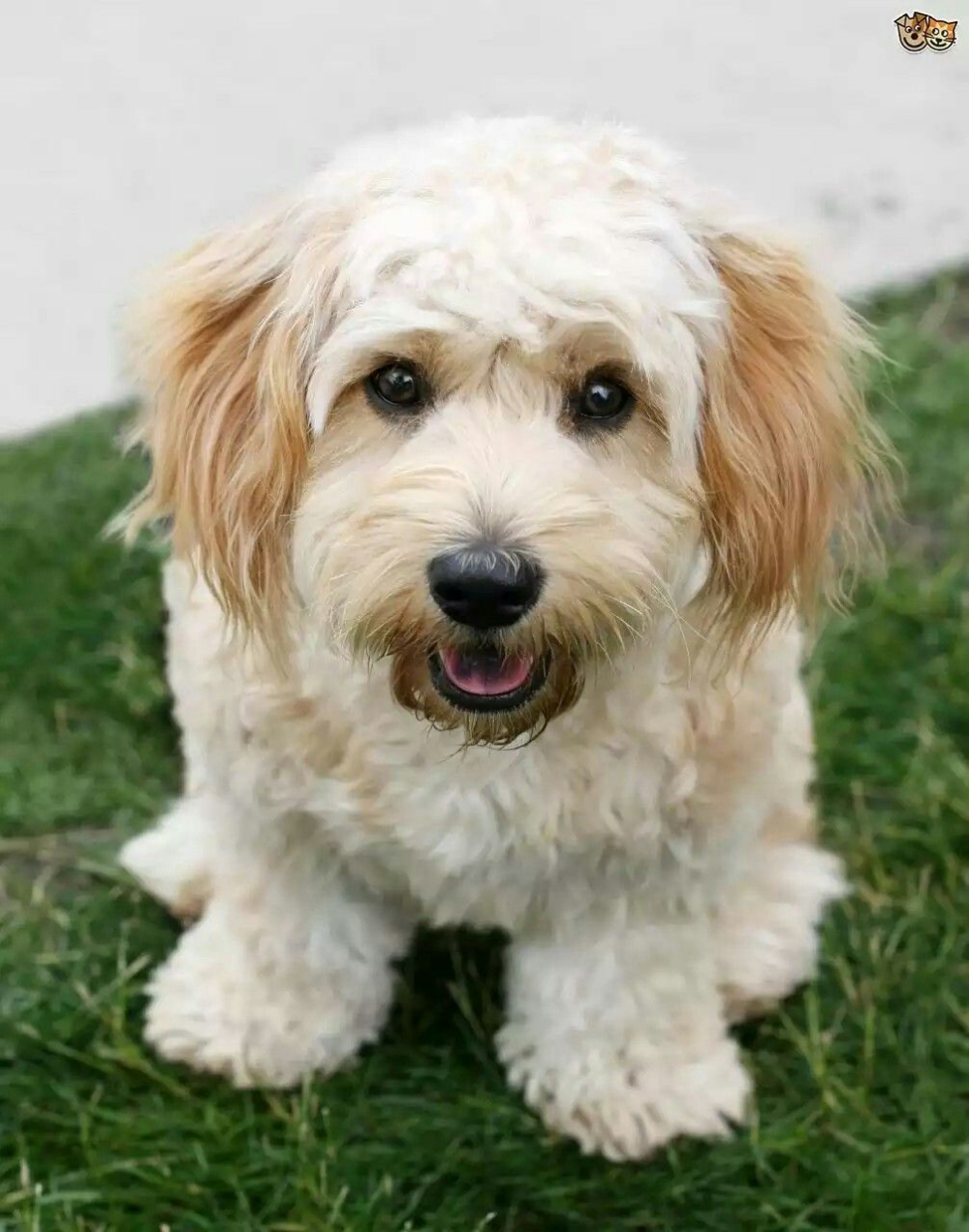 4 Personality Traits Of The Adorable Cavachon Puppy Louie
