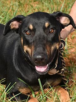 Doberman Pinscher Dog For Adoption In Nashville Indiana Maisie