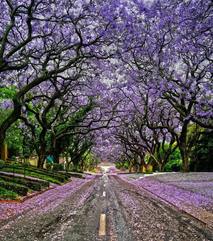 Lilac Canopy(Jacaranda) Pretoria SA & Lilac Canopy(Jacaranda) Pretoria SA | Jacarandas | Pinterest ...