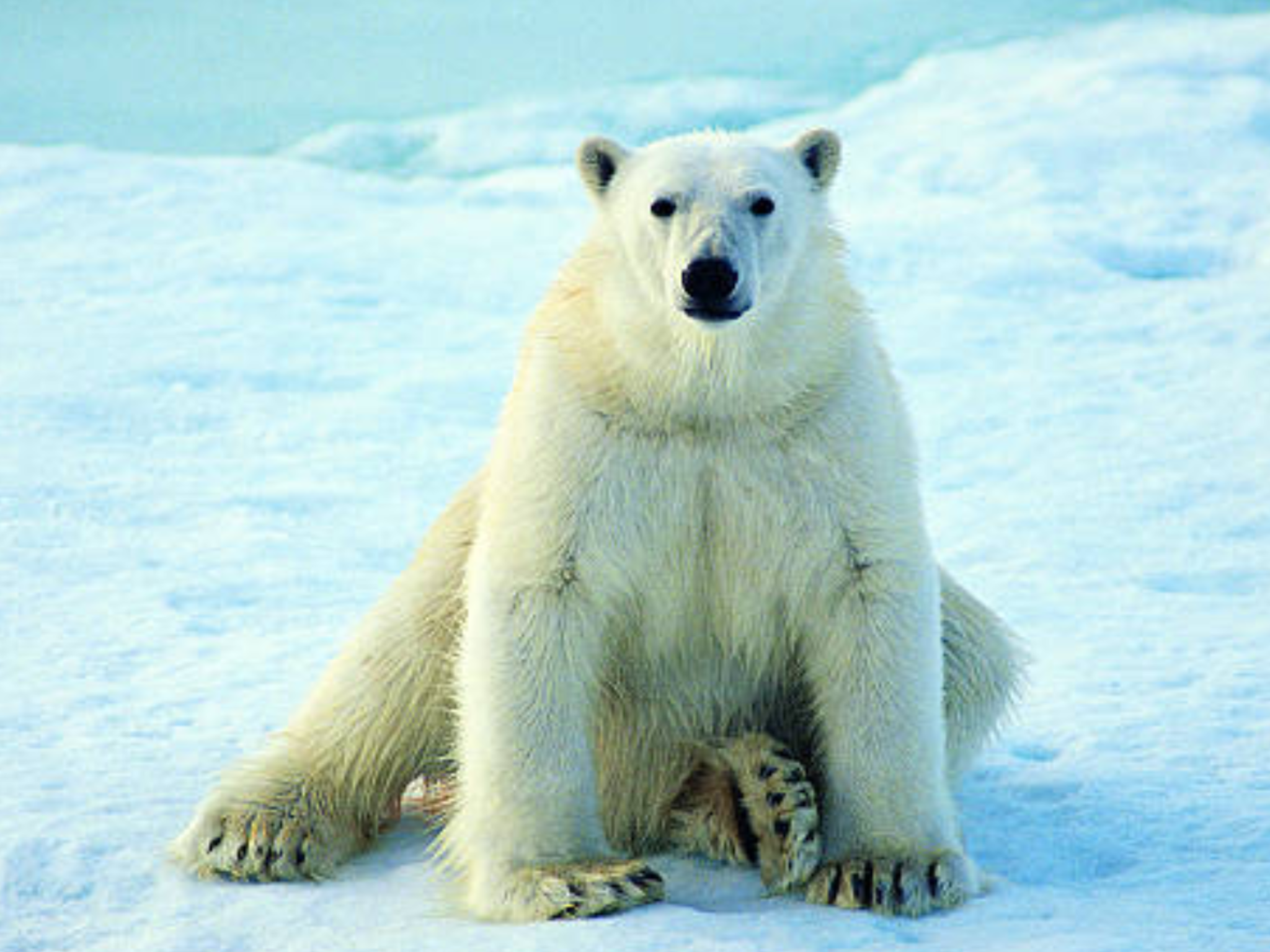 Polar Bear Polar bear, Polar bear wallpaper