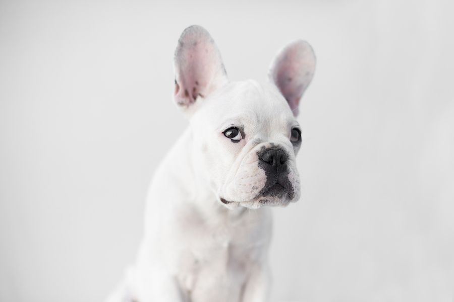 Wembley the French Bulldog Puppy by Frame Your Pet | French bulldogs ...