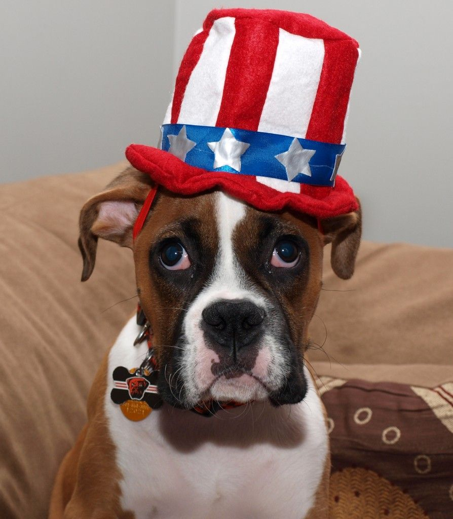 Kosar the Boxer from Cleveland Boxer dogs funny