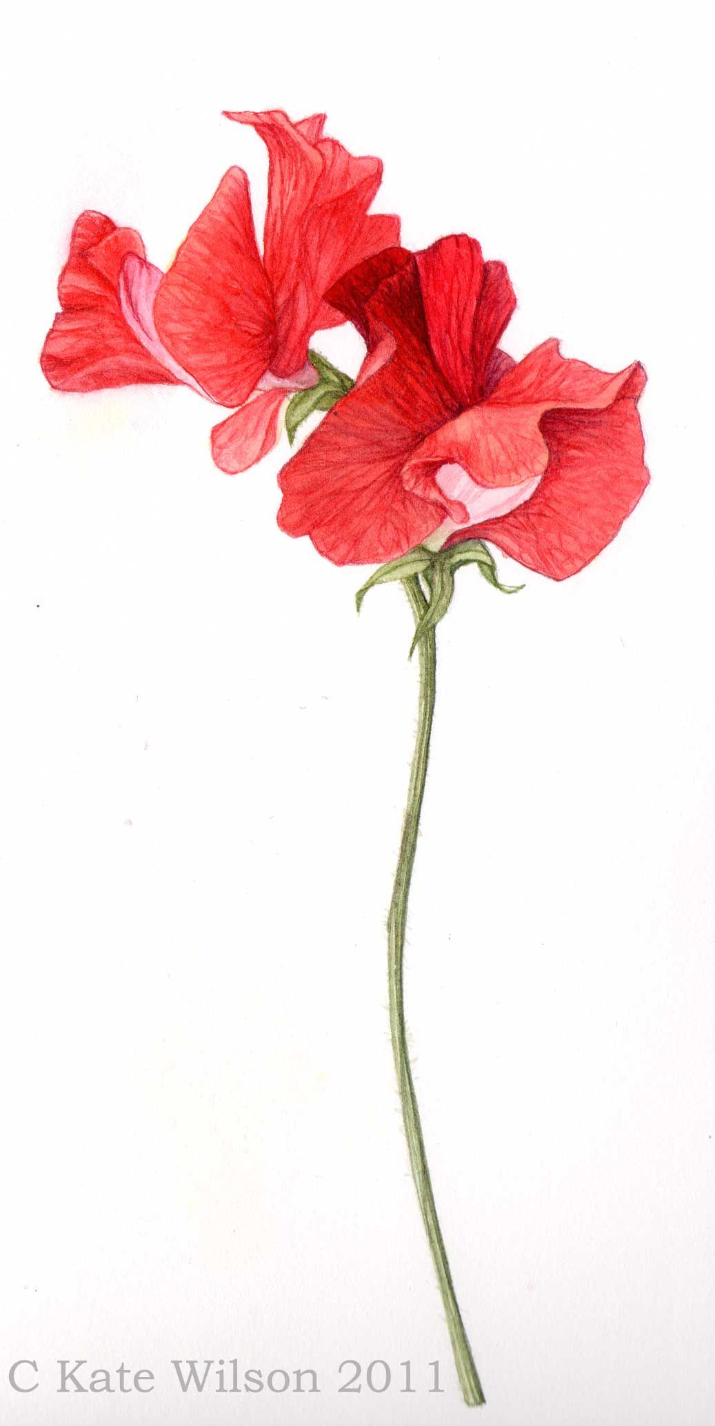 watercolour sweet pea watercolour flowers and ttrees