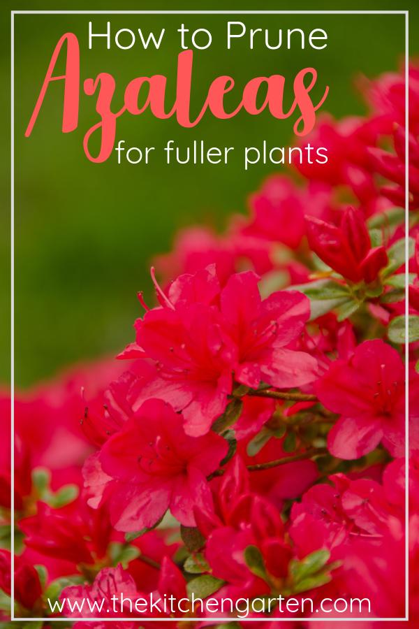 How To Give Old Azaleas A Fresh Start Pruning Azaleas Pruning Azaleas Azaleas Landscaping When To Prune Azaleas