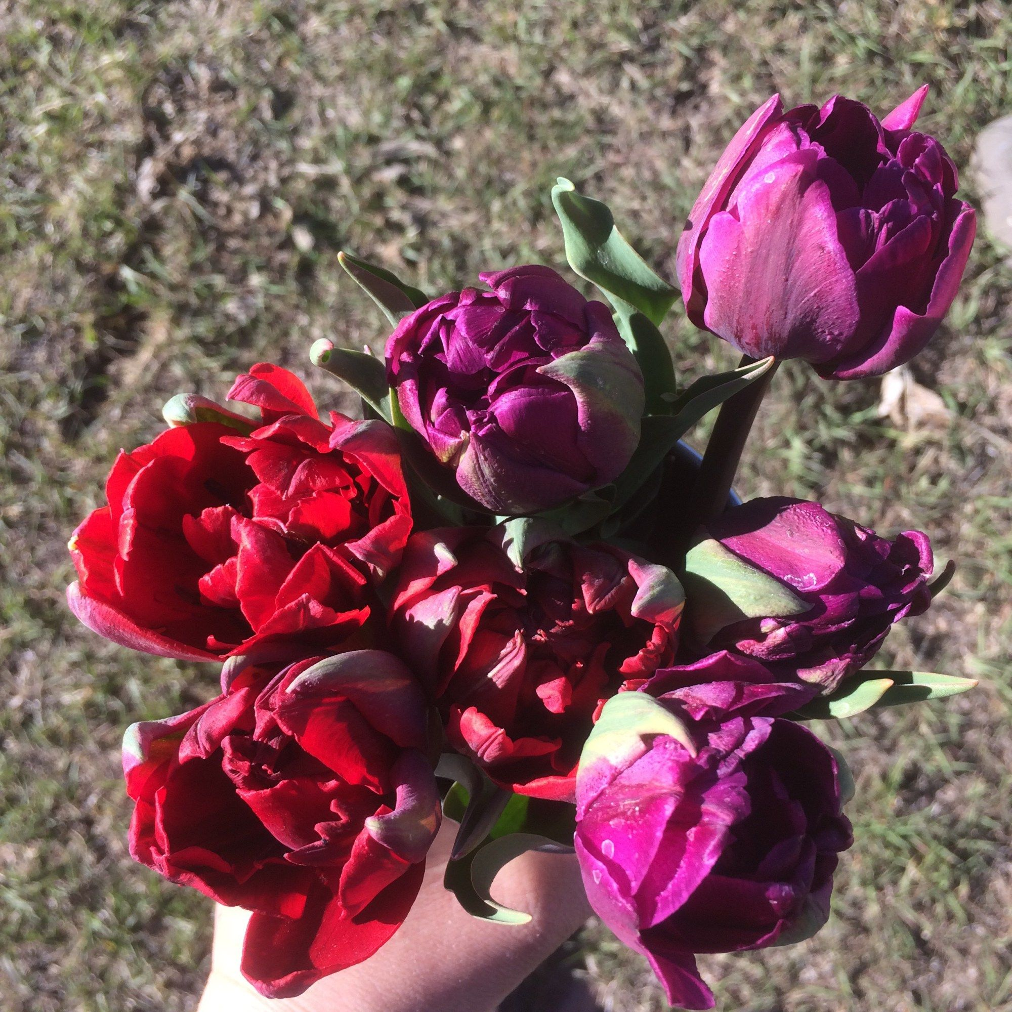 peony flowered, wine colored tulips from your local cut flower farm ...