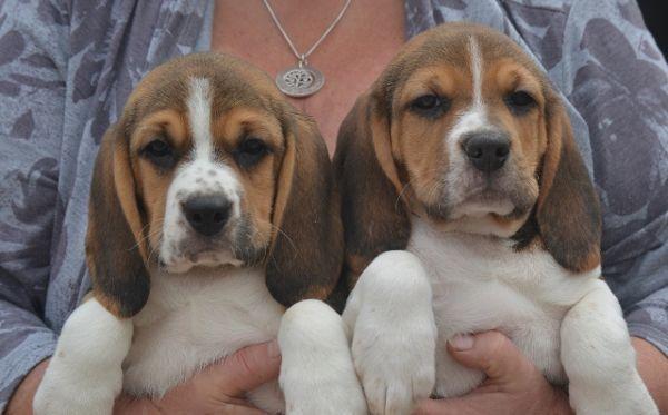 Beagle Puppies In Lincoln Lincolnshire Fantastic Pedigree Beagles