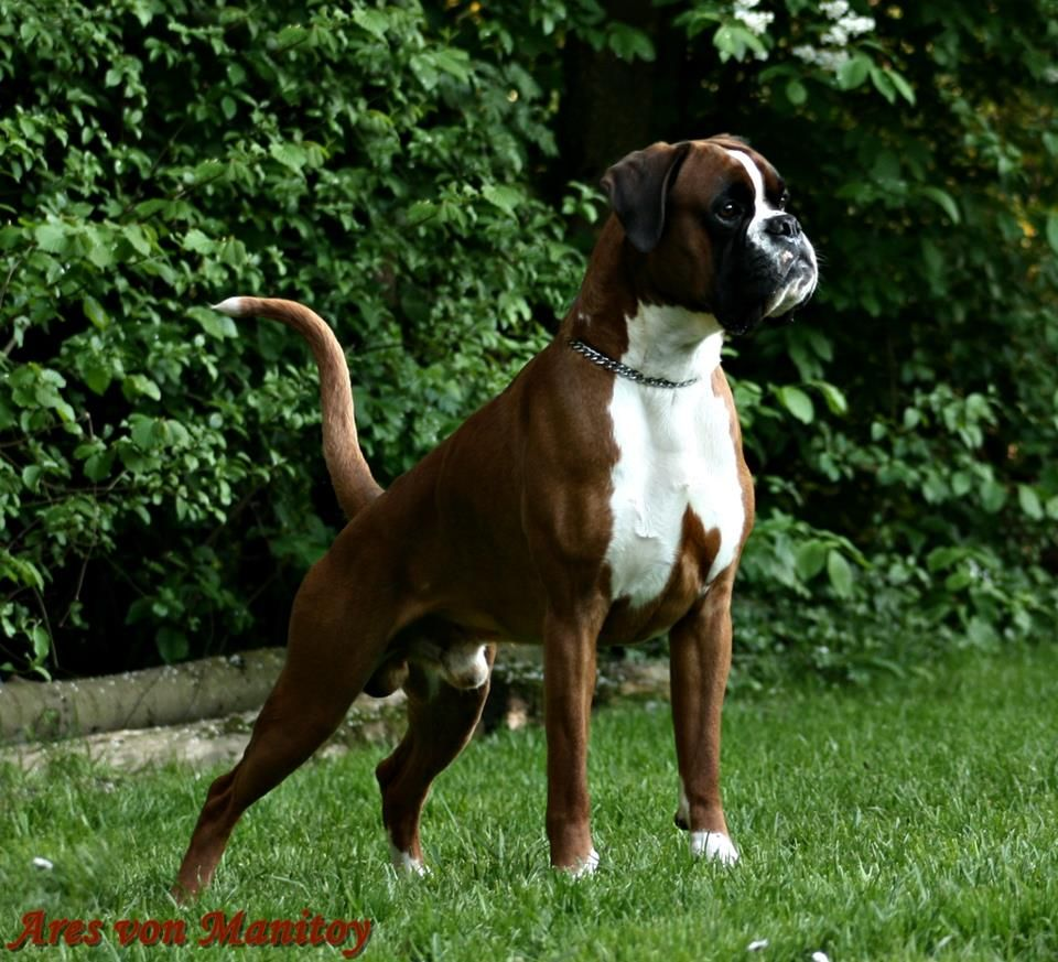 Havenwoods Boxers Top Quality Akc German And American Boxers