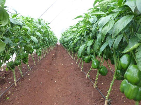 green house in africa, greenhouse farming business plan
