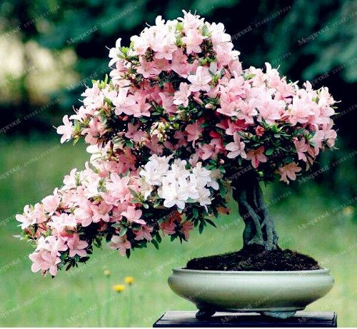 10pcs Rare Sakura Seeds Bonsai Flower Cherry Blossoms Tree Cherry Blossom Seeds Ornamental Bonsai Plants Cherry Blossom Bonsai Tree Bonsai Flower Bonsai Azalea