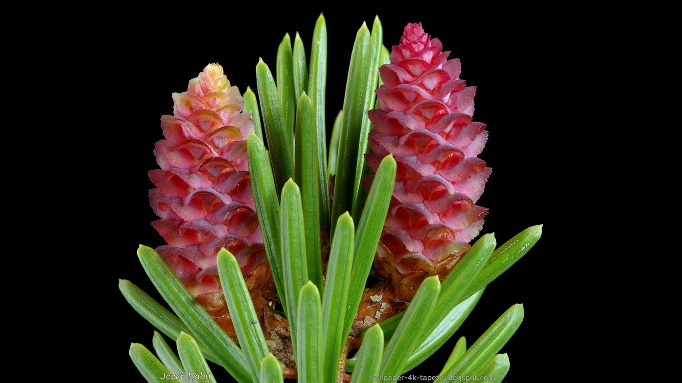 Tapety Na Pulpit 4k Ultra Hd Full Hd I Inne Rozdzielczosci Picea Sitchensis Sitka Spruce Swierk Sitkajski Kwiaty Sitka Spruce Sitka Plants