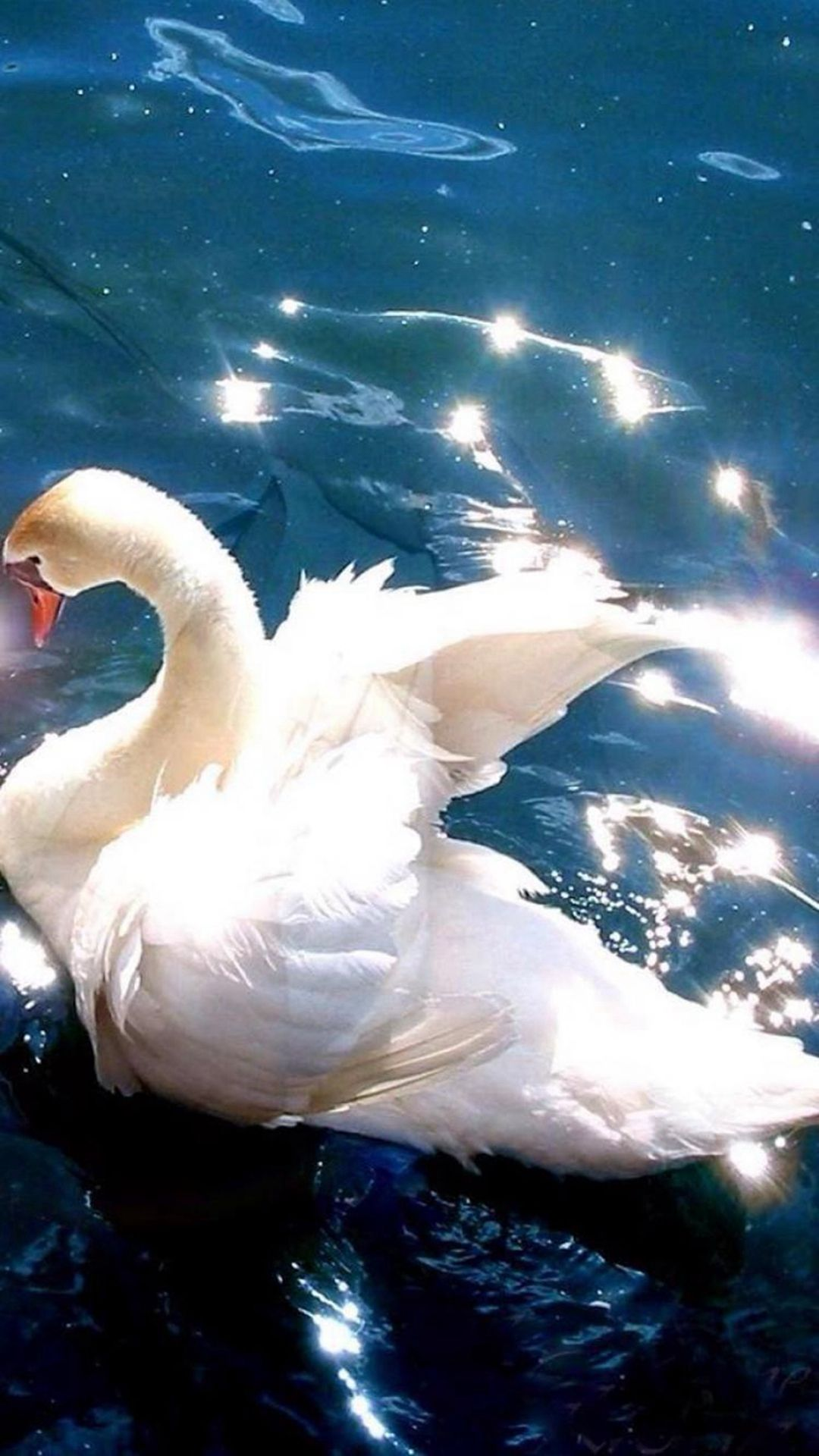 Bright White Swan Swimming Clear Pool Iphone Plus Wallpaper
