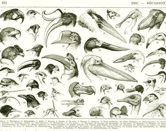 Bird Beaks Poster From 1936 Vintage Bird Print Antique Bird Etsy Bird Prints Vintage Birds Bird Beaks
