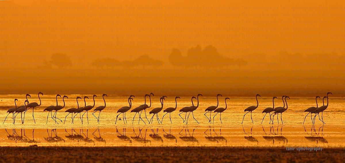 THE GREATER FLAMINGOES