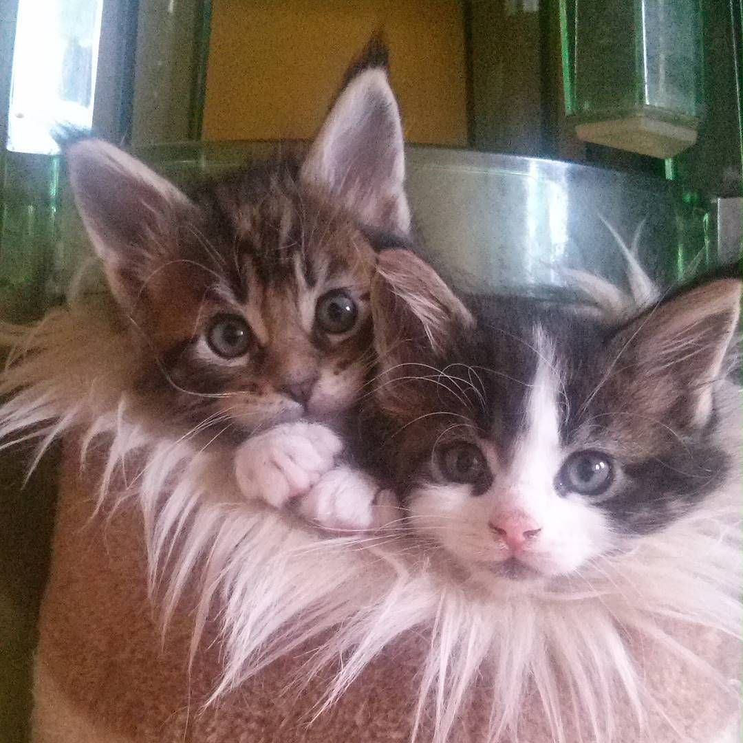 Pin On Maine Coon Kittens
