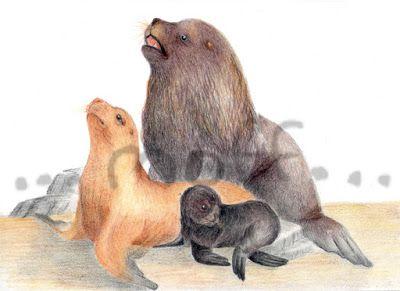 Lobo Marino De Un Pelo Ilustraciones Cientifica Lapices Sobre Papel Elefante Marino Ilustraciones Animales