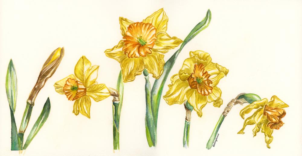 Daffodil Life Cycle Original Framed Watercolor Painting Watercolor Print Floral Watercolor Botanical Watercolor