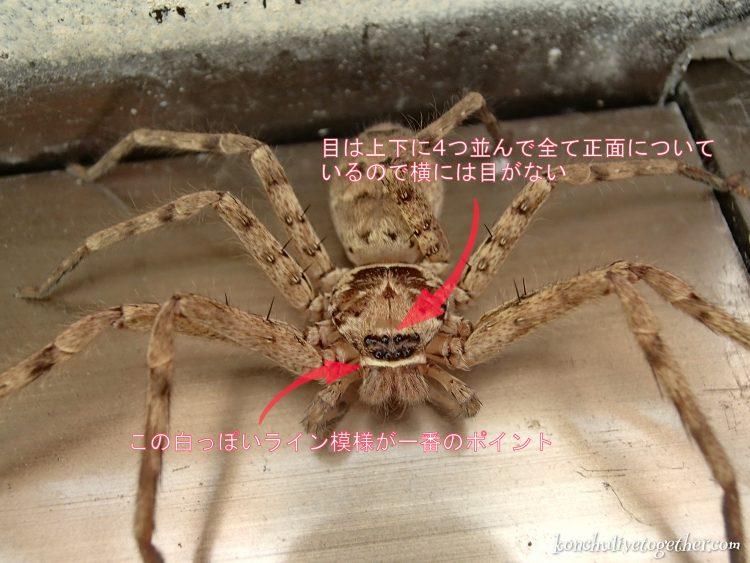 家に出てできた大きなクモ アシダカグモ アシダカグモ クモ