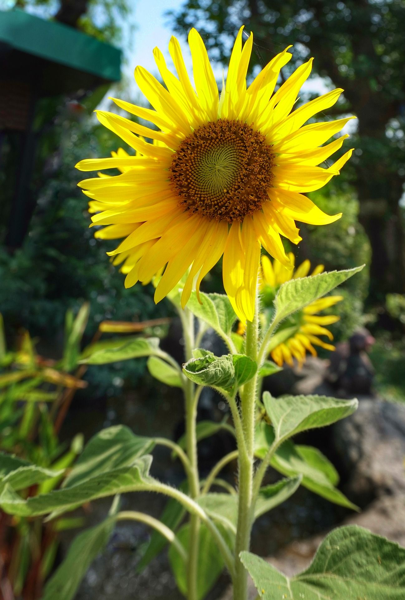 How To Grow Sunflowers For Seeds Growing Sunflowers Growing Vegetables Harvesting Sunflower Seeds