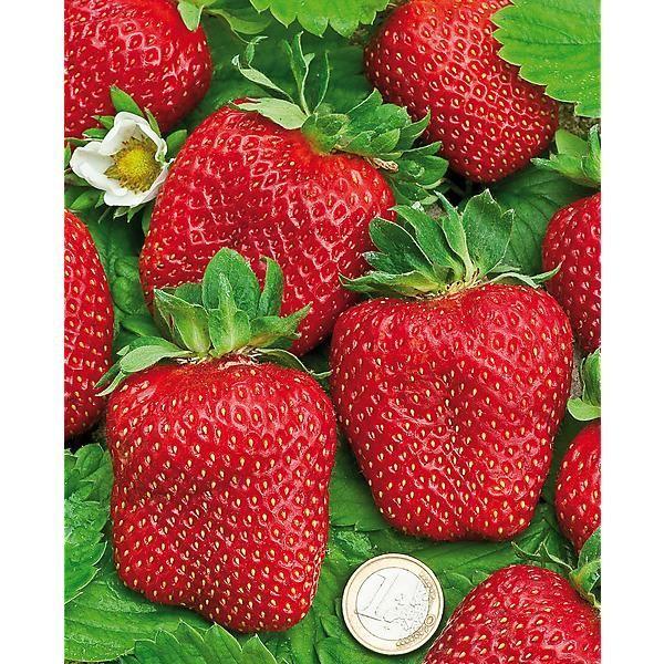 Comment planter des fraisiers ? | Comment planter, Comment ...