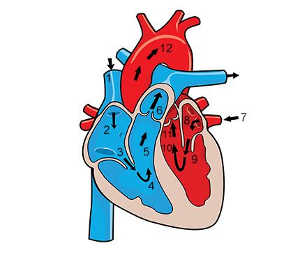 Functions of the circulatory system youve always wanted to know the human circulatory system functions through the heart blood and a network of blood vessels to enable the transport of various substances throughout the fandeluxe Gallery