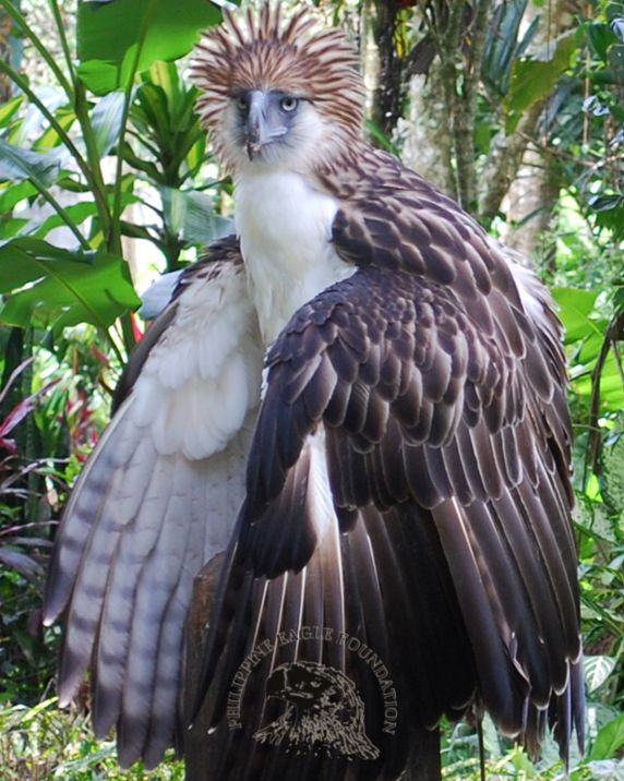 Philippine Eagle Foundation - The official website of the Philippine ...