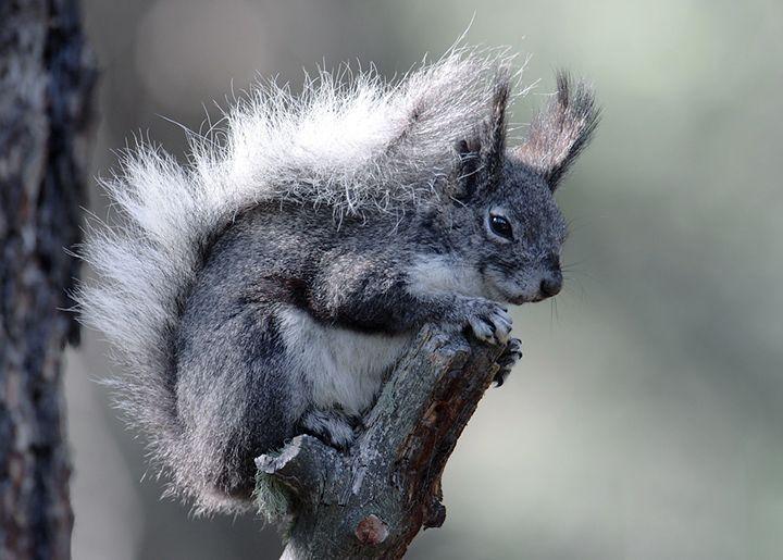 Abert's squirrel, also called the tassel-eared squirrel ...