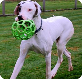 Pin By Barry Stritton On Great Dane Pet Adoption Pets Adoption