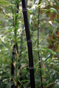Black bamboo plant running bamboo plants clumping bamboo plants willis orchard company - Bambu planta exterior ...