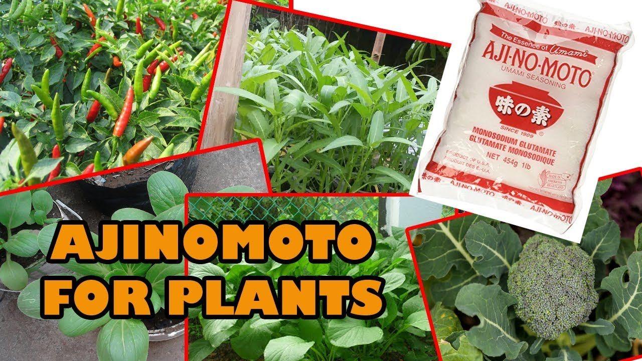 Taman Inspirasi Share Video About Use Of Ajinomoto For Plants