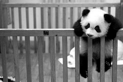 Cute baby Panda bear trying to make a grand escape.