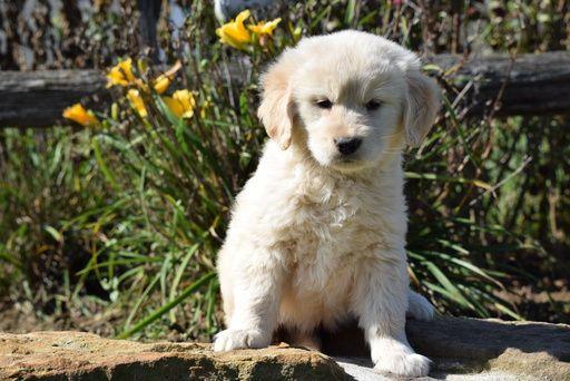 Golden Retriever Puppy For Sale In Fredericksburg Oh Adn 48388 On Puppyfinder Com Gender Female Age 8 We Retriever Puppy Golden Retriever Puppies For Sale