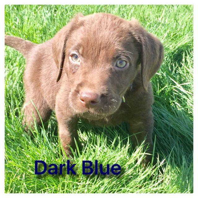 Bull Terrier Puppy For Sale In Phoenix Az Adn 41241 On