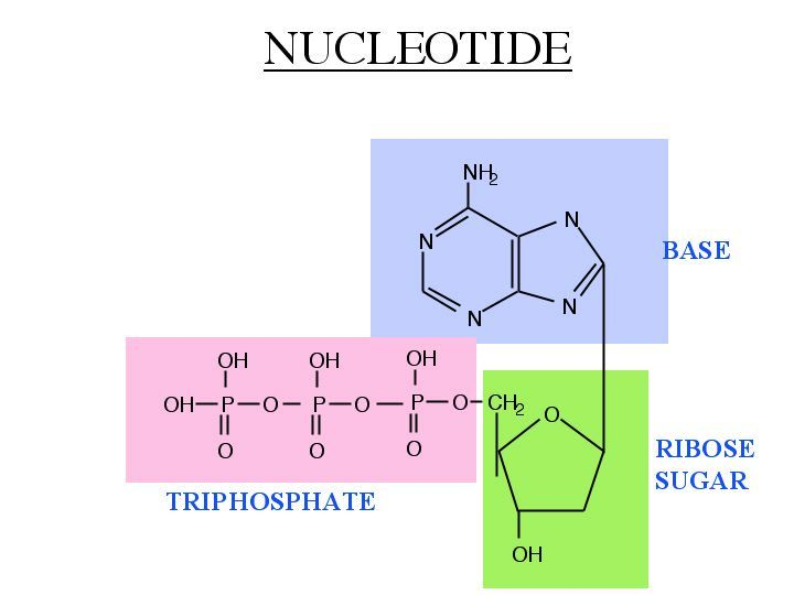 A Nucleotide Is Composed Of 3 Main Parts The Base A T G C A Ribose Sugar And A Phosphate Group The Base Can Be Split Into 2 Categorie Biology School Mcat