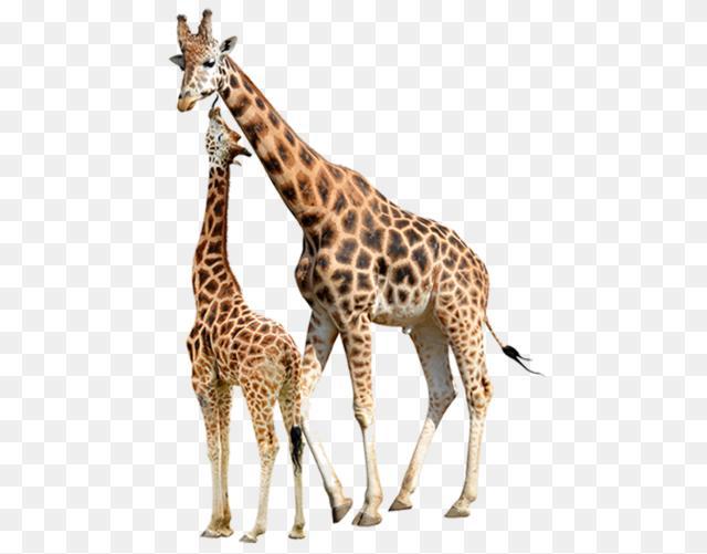 Short Giraffe Png Reticulated Giraffe Stock Photography Baby Giraffes 640 501 Png Download Free Transparent Back Baby Giraffe Giraffe Giraffes Cant Dance