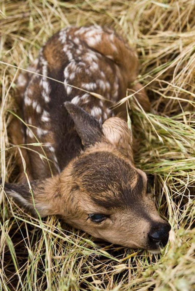 Pin by pat elliott on Deer North american animals, Baby