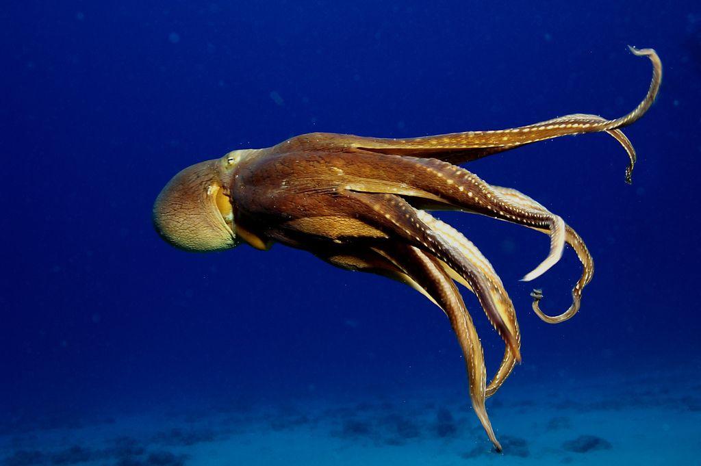 octopus swimming Google Search Art challenge