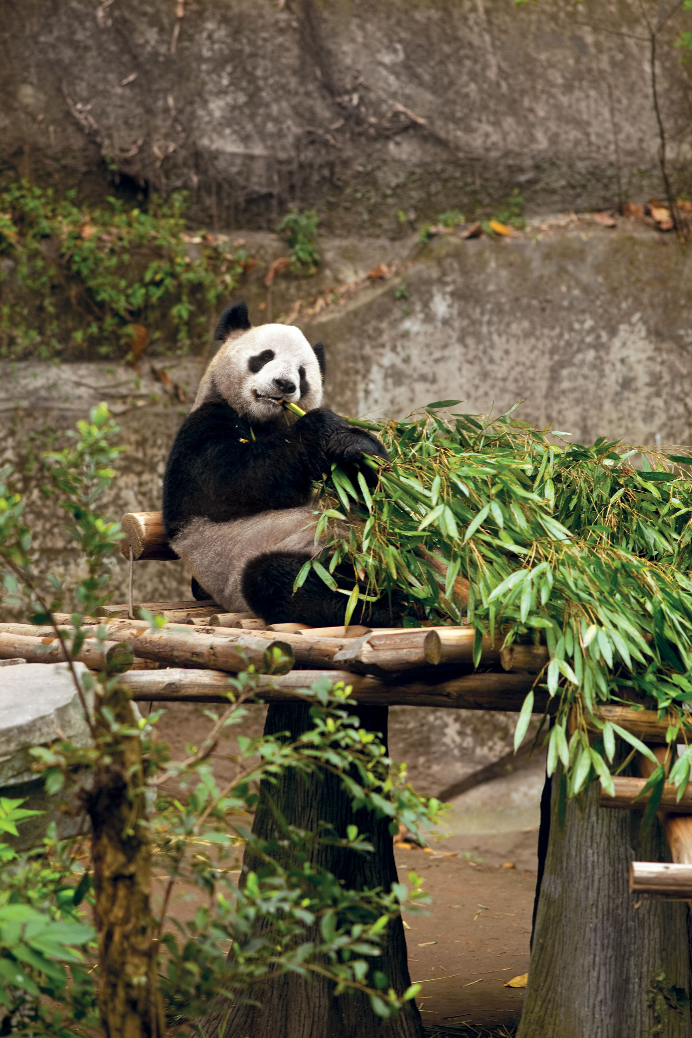 only in china can you visit the giant pandas original home uniworldchina [ 2400 x 3600 Pixel ]