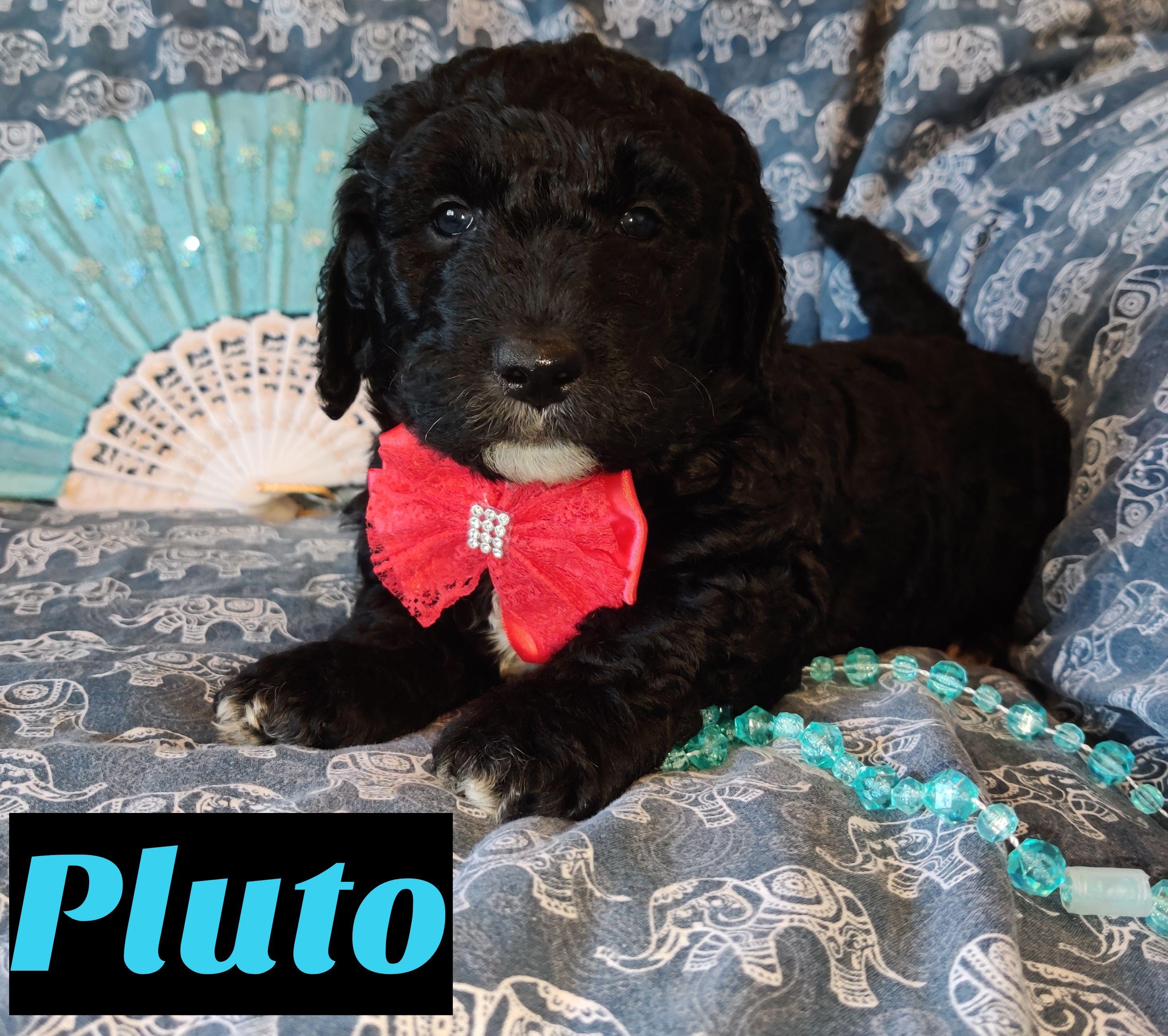 Pluto, Miniature Goldendoodle Florida Mini goldendoodle
