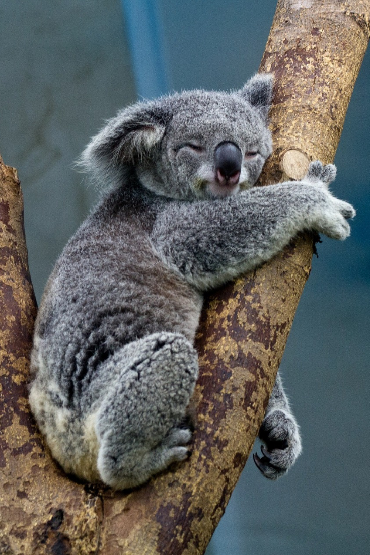 Breakfast With Koalas At Wild Life Zoo Darling Harbour Cute Wild Animals Slowest Animal Animals