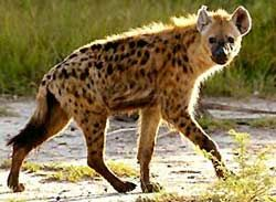 Panna National Park is one of the most famous Tiger Reserves and known for its wild cats, deer and antelope.