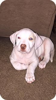 Detroit Mi Labrador Retriever American Bulldog Mix Meet Layla Ali A Puppy For Adoption Http Www Labrador Retriever Puppy Adoption American Bulldog Mix