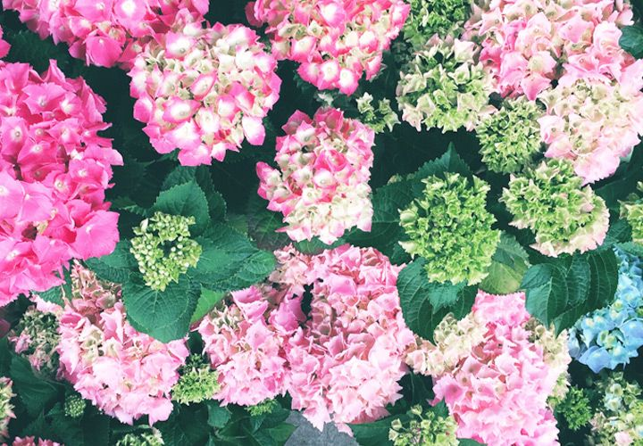 Hydrangea Meaning And Symbolism Ftd Com Flower Meanings Flowers Growing Hydrangeas