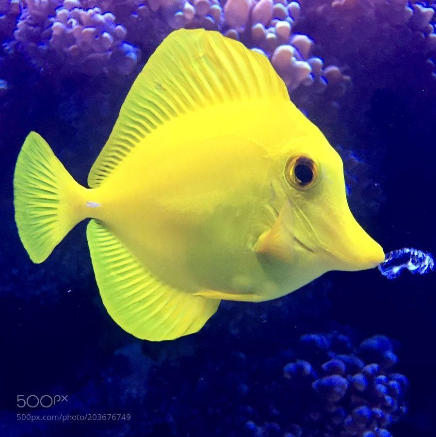 Yellow Tang Tang Fish Tropical Fish Fish